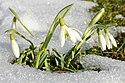 Schneeglöckchen..IMG 7095BEWI.jpg
