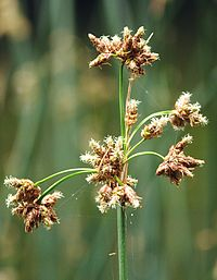 Schoenoplectus lacustris 260605a