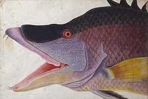 Mark Catesby - Image: Schweinsfisch