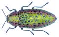 Scintillatrix mirifica (Mulsant, 1855).png