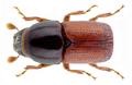Scolytus pygmaeus (Fabricius, 1787).png
