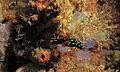 Sea Slug (Nembrotha kubaryana) (6065459440).jpg