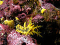 Sea cucumber yellow komodo.jpg