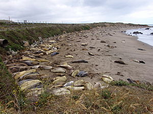 Elephant seal - Image: Seals 007