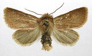 <i>Denticucullus pygmina</i> Species of moth