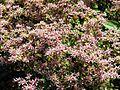 Sedum floriferum 01.jpg