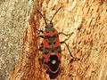 Seed Bug (15940932570).jpg
