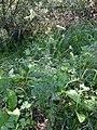 Selinum carvifolia sl1.jpg