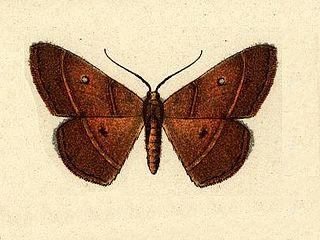 <i>Semaeopus</i> Genus of moths