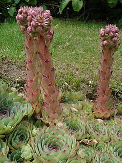 Sempervirum tectorum1.jpg