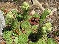 Sempervivum montanum (14309121738).jpg