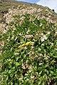 Senecio angulatus kz6.jpg