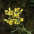 Senecio eremophilus flora.jpg