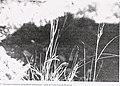 Sensitive plant species surveys, Butte District, Beaverhead and Madison Counties, Montana (1996) (20322851780).jpg