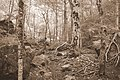 Sepia Trees (20445123719).jpg