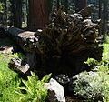 Sequoia National Park - Big Trees Trail - Giant Sequoia - fallen.JPG