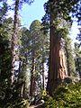 Sequoia Trees, Kings Canyon National Park - panoramio.jpg