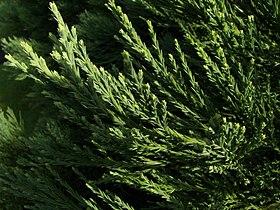 Sequoiadendron giganteum Marburg 002.jpg