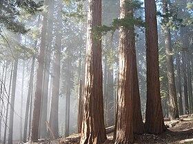 Sequoiagrove2005.jpg