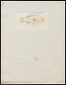 Serranus zananella - 1798-1876 - Print - Iconographia Zoologica - Special Collections University of Amsterdam - UBA01 IZ12900188.tif