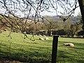 Sheep in lamb, or enjoying the sun - geograph.org.uk - 363673.jpg