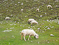 Sheeps eating.jpg