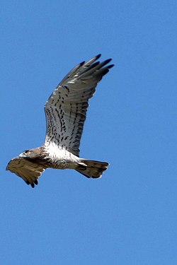 Short-toed Eagle. Circaetus gallicus - Flickr - gailhampshire.jpg