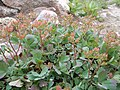 Sibbaldia procumbens (5066471306).jpg