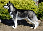 """A dark grey and white wolf like dog faces left in profile."""
