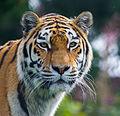 Siberian Tiger (15122878681).jpg