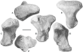 Плюсна Sibirotitan astrosacralis в разных ракурсах