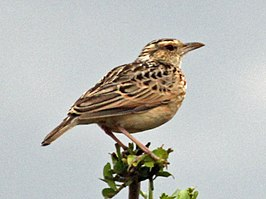 Singing Bush Lark RWD3.jpg