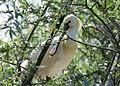 Skedstork Eurasian Spoonbill (14339579087).jpg