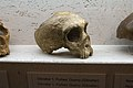 Skull of Neanderthal from Gibraltar, Welcome to the Neandertals, Brno,187896.jpg