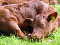 Sleeping calf (7338205298).jpg