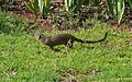 Slender mongoose1.jpg