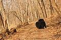 Sloth bear (10).jpg