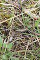 Slow worm - Anguis fragilis - panoramio (1).jpg