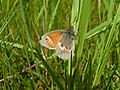 Small Heath Butterfly (7570923556).jpg