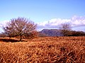 Small oak tree and Skirrid - geograph.org.uk - 1125687.jpg
