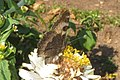 Small tortoiseshell (MSvat) (24923065022).jpg