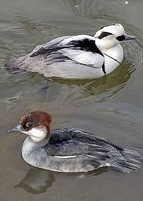 Zwergsäger (Mergellus albellus),  oben Männchen, unten Weibchen
