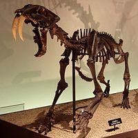 Smilodon Skeleton.jpg
