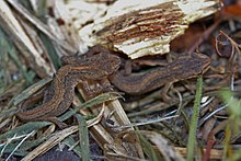 Two brown juvenile newts sitting closely together