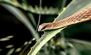 Snake in Maserani.jpg