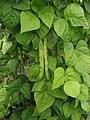 Snijboon peulen Phaseolus vulgaris.jpg