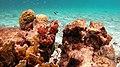 Snorkeling Windsock Steep, Bonaire (12998289494).jpg