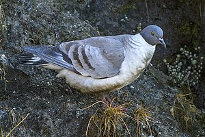 Snow pigeon - Snow pigeon from Sikkim, India.