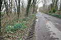 Snowdrops and Early Daffodils in Longwood Lane - geograph.org.uk - 1191026.jpg
