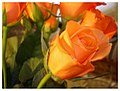 Soft Rose - Flickr - aka Kath.jpg